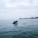 2-delfin