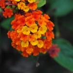 flor-lantana