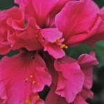 flor-peregrina
