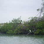 ibises-en-manglar