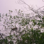 iguana-en-manglar