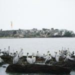 pelicanos-en-los-farallones